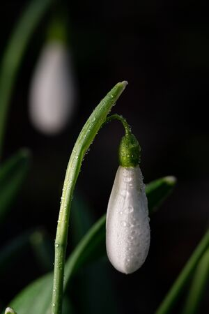 First white spring snowdrop over green background. Green stem.
