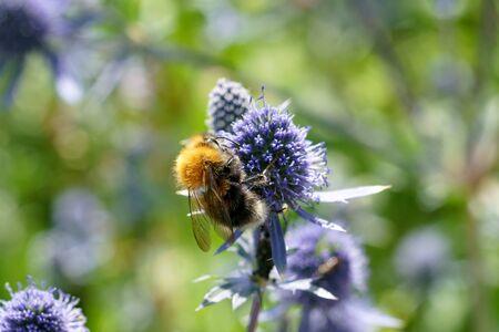 Bee on flowers of eryngium, macro.