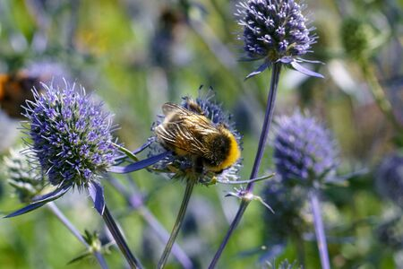 Bumblebee on flowers of eryngium. Insect wings macro.