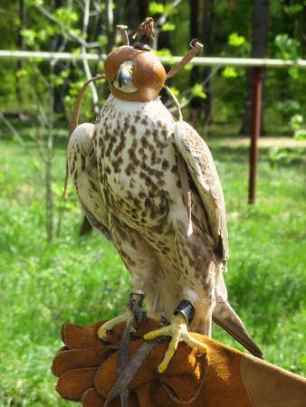 Falcon before sport hunting Stock Photo