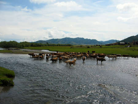 A herd of cows on watering