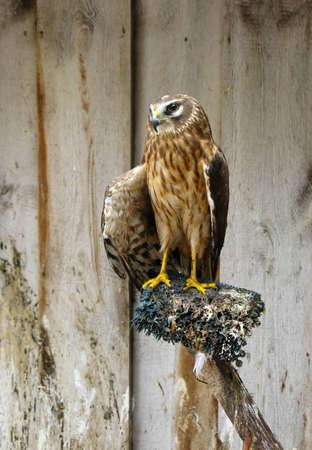 Saker falcon  Falco cherrug Stock Photo - 13677549
