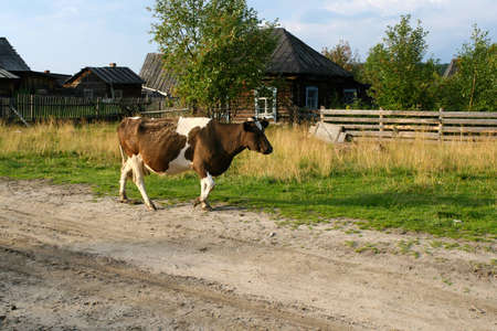 Cow wanders through the village Stock Photo