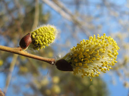 Inflorescences flowering willow