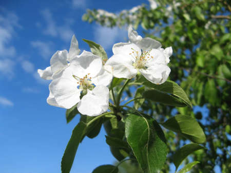 Apple blossom on a background of light blue sky