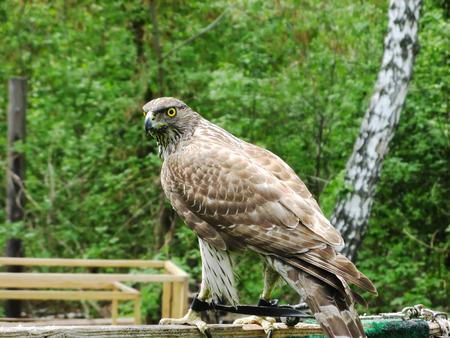 Hawk Goshawk  Accipiter gentilis