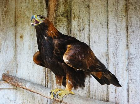 golden eagle: R�uberische Steinadler Aquila chrysaetos Lizenzfreie Bilder