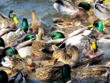 feeding frenzy: Flock of Hungry Ducks In A Feeding Frenzy