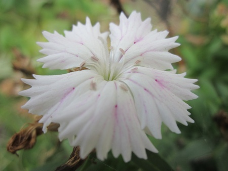 frilled: Frilled White Flower Close-up