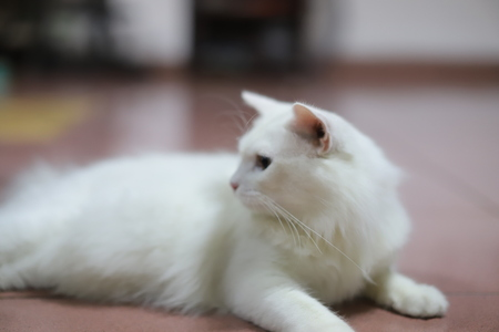 Stock Photo - Cute White Persian Cat Chillin at the Garage