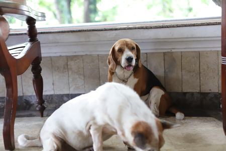 Stock Photo - Cute Beagle Dogs Chilling at the Yard