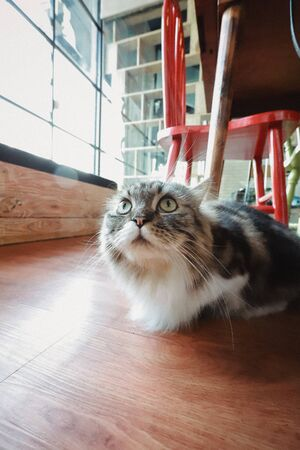 Cute Cat at Cat Cafe 스톡 콘텐츠 - 132105453