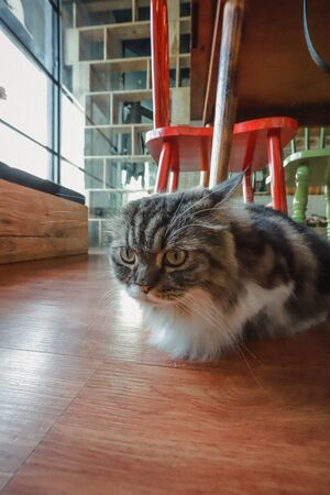 Cute Cat at Cat Cafe 스톡 콘텐츠 - 132106241