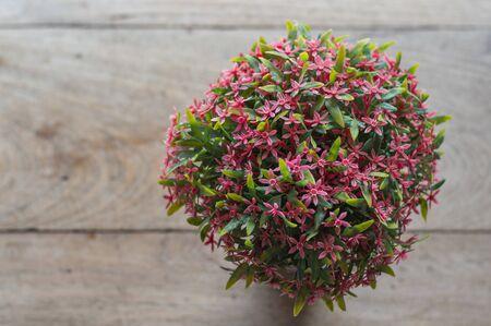 long weekend: Rubiaceae flower in Thailand travel  on long weekend.