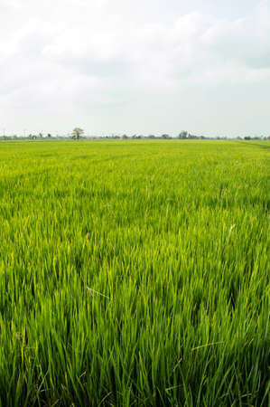 nontaburi: The rice farm in Nontaburi near Bangkok, Thailand. Stock Photo