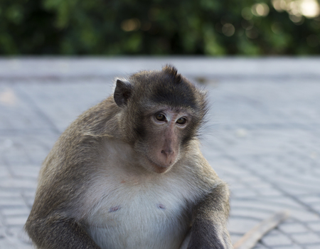 primate: The crab-eating macaque (Macaca fascicularis), also known as the long-tailed macaque, is a cercopithecine primate native to Southeast Asia