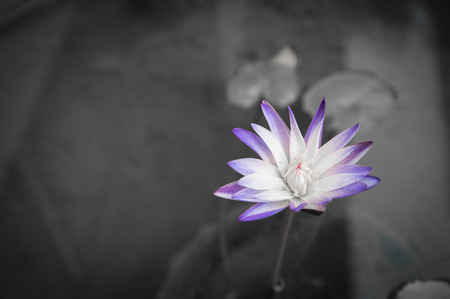 purple lotus ,water lilly on gray background, beautiful in the dark concept