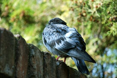 lonesome: rock pigeon ruffled up over brick fence Stock Photo