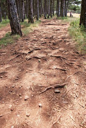 earth road: modello di root sul pino terra strada forestale