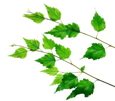 green birch brach isolated over white background Stock Photo