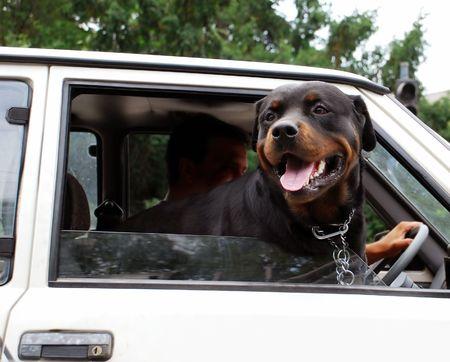 serbian: Head of big black dog in car on crossroad in Belgrade