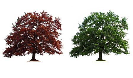 green and red old oak trees isolated over white Stock Photo - 3810481