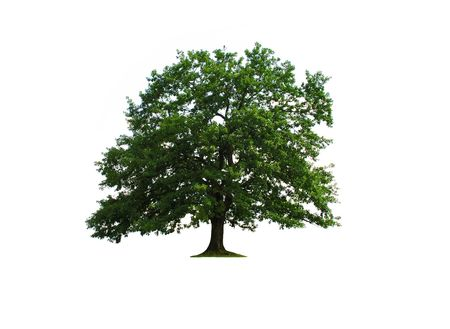 oak tree: sole green old oak tree isolated over white