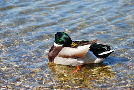 male duck green head over transparent water photo