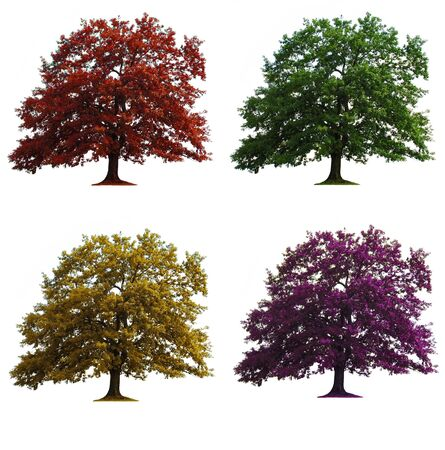 four oak trees in seasons colors isolated over white Stock Photo - 3867915