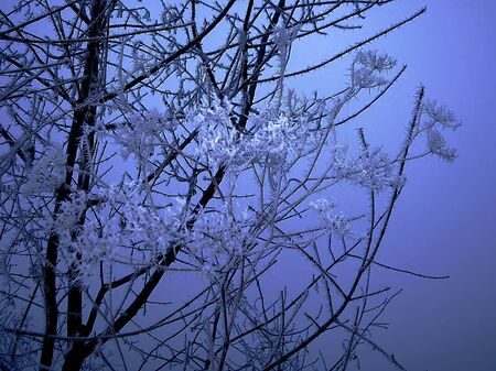 icicled: blue branch with ice crystals over black winter background Stock Photo