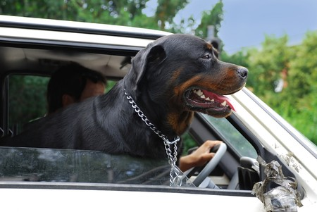 belgrade: Head of big black dog in car on crossroad in Belgrade