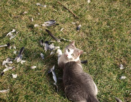 mortal: gray domestic cat outdoor after eating pigeon
