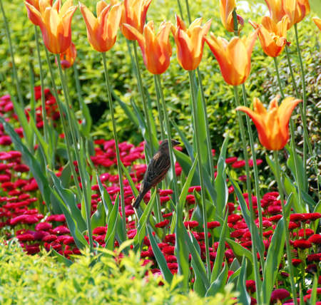 sparrow among red and yellow  tulips  outdoor photo