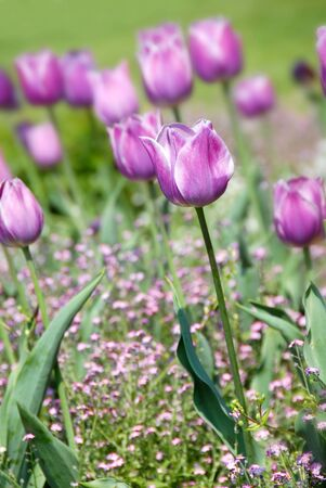 purple  tulips natural floral backgrounds outdoor photo