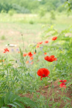 unpretentious: red poppies over blur sunny green field background Stock Photo
