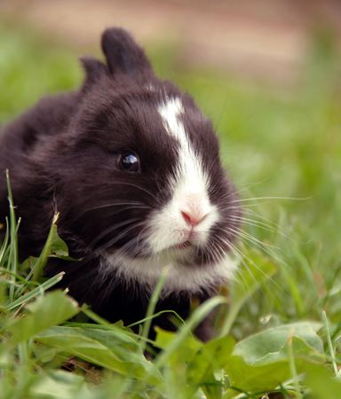 outdoor eating: small black rabbit at grass outdoor eating a leaf
