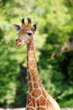 giraffe portrait over blur green background photo