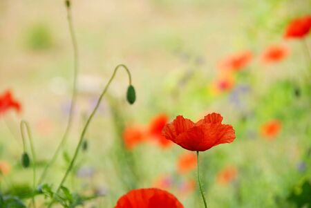 red poppy flower over green blur summer background photo