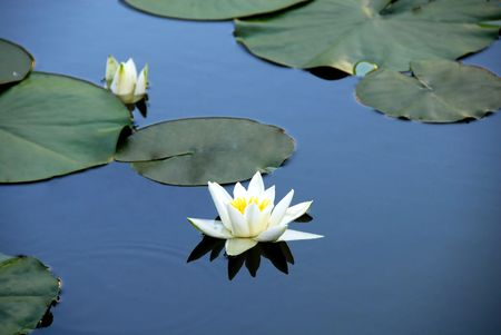 White water lily blooming on blue pond water photo