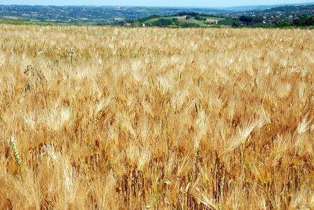 serbia landscape: yellow wheat field, summer rural Serbia landscape