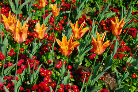 red and yellow  tulips natural floral backgrounds outdoor photo