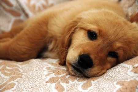perro triste: cute oro triste perrito mentir interiores  Foto de archivo
