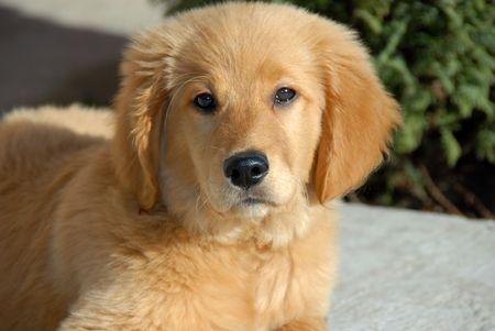 small cute  golden retriever puppy portrait outdoor photo