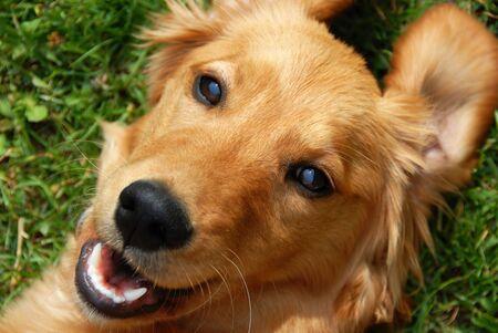 golden retriever young dog portrait diagonal closeup photo