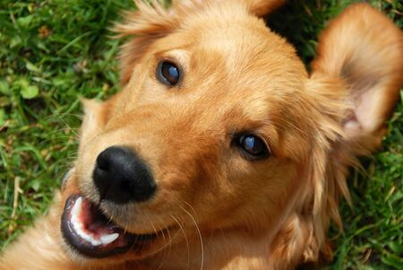 yellow teeth: golden retriever young dog portrait diagonal closeup