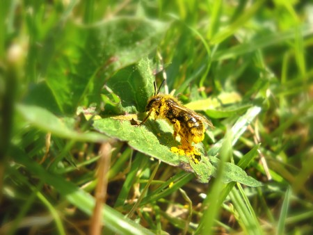 bee full of yellow pollen on green leaf over blur natural background photo