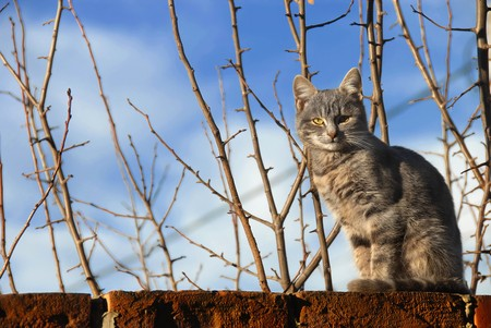 pussy tree: gray cat sitting on brick wall over branches and blue sky
