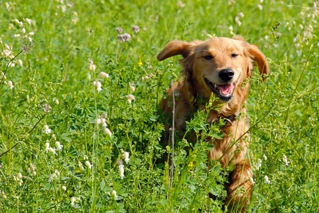 perro corriendo: Perro en la hierba  Foto de archivo
