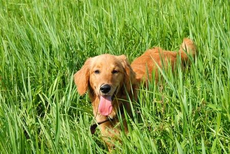 golden retriever young dog in green grass outdoor photo