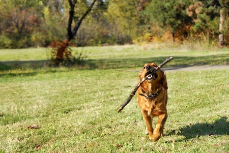 mujer perro: al aire libre con palo en dientes de perro de Golden retriever